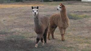 Alpaca Male Pair for Sale Dangarsleigh Armidale City Preview