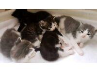 Kittens for sale soon