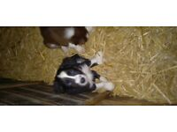 border collie puppies (2 girls left )