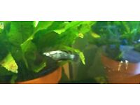 Molly male fish free