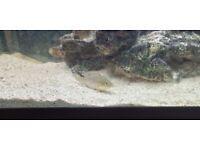 Polleni/ Madagascar Cichlid for sale