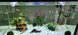 Beautiful Guppy and Balloon Molly Fish. Very Healthy Babies (Fry)