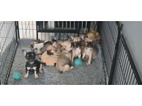 7 French Bulldog pups ready