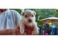 1 boy Maltese puppy