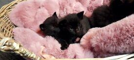 Long hair kittens for sale