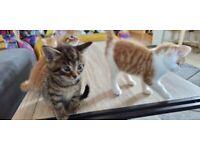 KITTENS READY NOW! - Ginger/White & Tabby