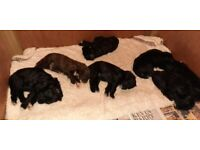 7 beardedoodle puppies for sale