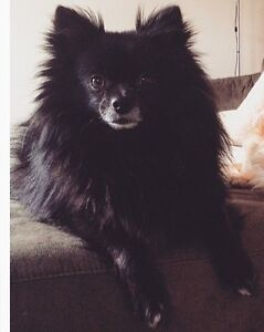 Happy and healthy 3 yr old Pomeranian x Chihuahua
