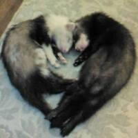 Ferrets Available For Adoption