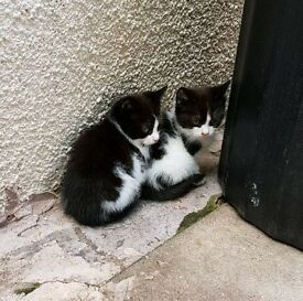 4 black & white Kittens