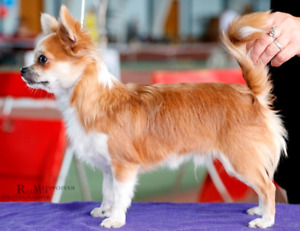 Chihuahua one male puppy for sale