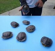 Turtle Shell Taxidermy
