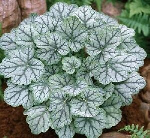 1200 MIXED COLORS CORAL BELLS HEUCHERA Shade Flower Seeds + Gift & Comb S/H