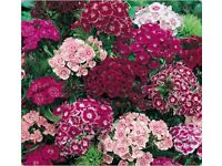 SWEET WILLIAM - DOUBLE MIX - COTTAGE PERFUME - 100 FINEST SEEDS