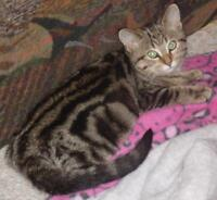 "Adult Female Cat - Tabby - Brown: ""Shylo bonded with J.B."""