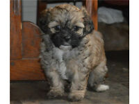 Shihpoo puppy - 2 left!!