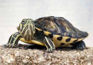 Turtle In Brisbane Region Qld Reptiles Amphibians Gumtree Australia Free Local Classifieds