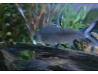 Large Bala/Silver sharks for sale