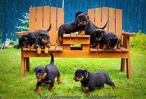 CKC Reg Rottweiler Puppies