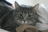 RESCUE DSH TABBY FOR ADOPTION! WHARF RESCUE