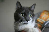 RESCUE GREY AND WHITE DSH FOR ADOPTION! WHARF RESCUE!