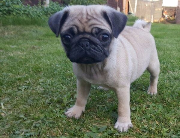 Pure bred pug puppies male and female