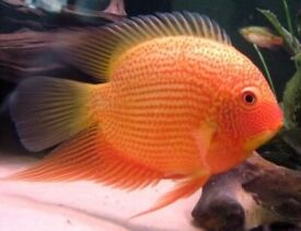 Live Tropical Fish for sale   1000s to choose from!   Tetra, Pleco, Catfish, Cichlids and much more!