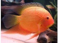 Tropical Fish | 1000's to choose from | L# Plecs, Platy, Neons, Mollies, Cichlids etc Live Fish