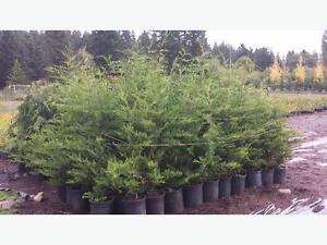 Cedar Hedging Trees