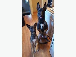 Fun and Positive Puppy class begins Mon, Dec 12 - 8 to 8:45pm Regina Regina Area image 2