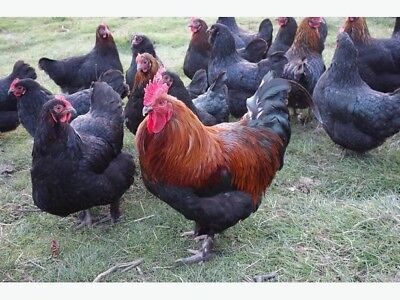 6 Purebred French Black Copper Maran Hatching Eggs.
