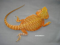 Top Notch Dragons For Sale***FREE DELIVERY***LAST CHANCE***