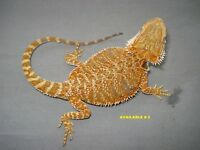 Top Notch Dragons For Sale! ***FREE DELIVERY***