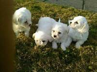 Bichon frieze puppies