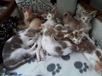 7 Oriental x Siamese kittens for sale
