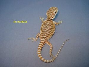 Leatherback Bearded Dragon For Sale - Great Pattern!