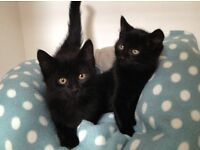 Black kittens for sale available now