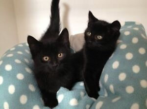 We have some beautiful kittens Gatineau Ottawa / Gatineau Area image 1