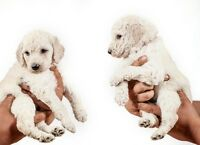 2 male Champagne standard poodle puppies
