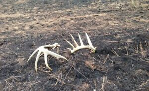 Shed antlers wanted paying big $$$$