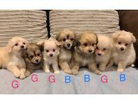 Poodle x Pomeranian puppies for Sale:)