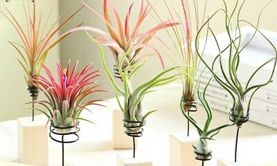 7 Pack Assorted Tillandsia-Easy Care Collection Air Plants FREE SHIPPING