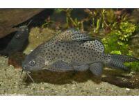 """7"""" Featherfin Synodontis Catfish"""