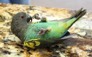 Cuddly Baby Mayers Parrot - Reserve Now