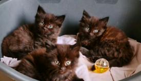 Long fur Persian Kittens Ready Now..