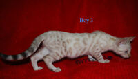 Price reduced SNOW  Bengal kittens   TICA Registered