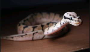 Male Bumble bee ball python