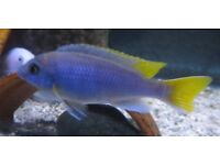 Malawi Yellow Tail Acei fry