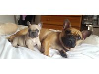 QUALITY FRENCH BULLDOG PUPS LILAC AND TAN FATHER
