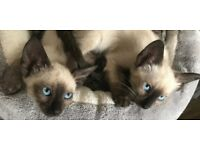 1 male seal point Siamese avalable